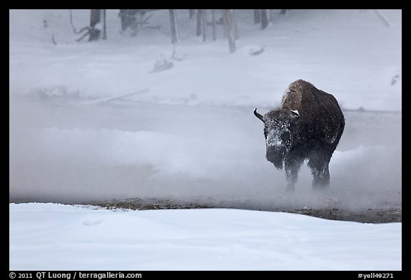 Bison crossing Firehole River in winter. Yellowstone National Park (color)