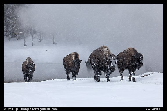 Group of buffaloes crossing river in winter. Yellowstone National Park, Wyoming, USA.