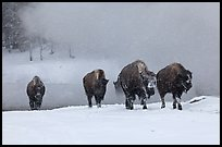 Group of buffaloes crossing river in winter. Yellowstone National Park, Wyoming, USA. (color)