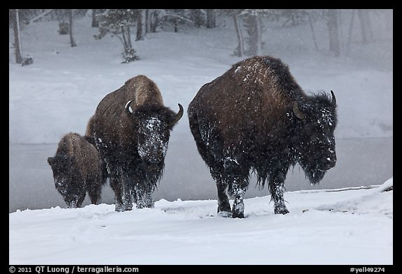 Bisons with snowy faces. Yellowstone National Park (color)