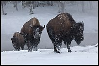 Bisons with snowy faces. Yellowstone National Park, Wyoming, USA. (color)