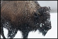 Close view of american buffalo in winter. Yellowstone National Park, Wyoming, USA.