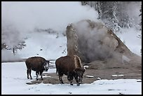 Bisons and geyser cone, winter. Yellowstone National Park, Wyoming, USA.