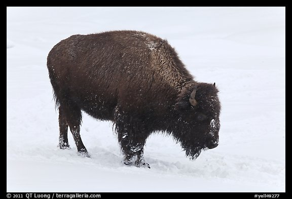American bison in winter. Yellowstone National Park (color)