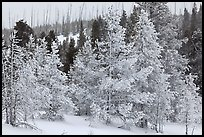 Snow-covered trees. Yellowstone National Park, Wyoming, USA.