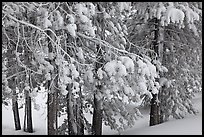Snow-covered branches. Yellowstone National Park, Wyoming, USA.