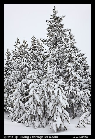 Snow-covered spruce trees. Yellowstone National Park, Wyoming, USA.