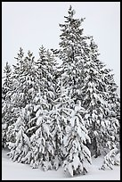 Snow-covered spruce trees. Yellowstone National Park ( color)