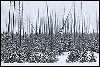 Sapplings and burned trees in winter. Yellowstone National Park, Wyoming, USA.