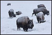 Bison feeding in snow-covered meadow. Yellowstone National Park, Wyoming, USA.