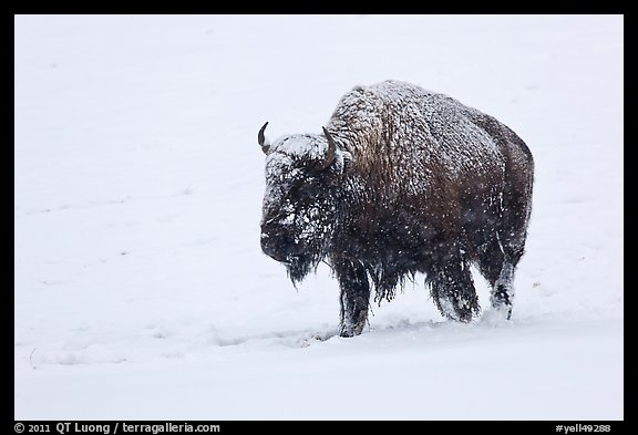 Snow-covered bison walking. Yellowstone National Park, Wyoming, USA.
