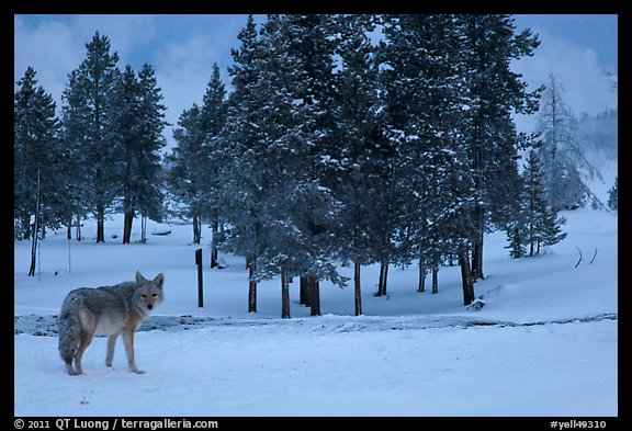 Coyote in winter. Yellowstone National Park, Wyoming, USA.
