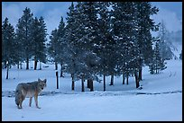 Coyote in winter. Yellowstone National Park, Wyoming, USA. (color)