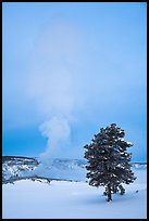 Pine tree and Old Faithful geyser in winter. Yellowstone National Park, Wyoming, USA.