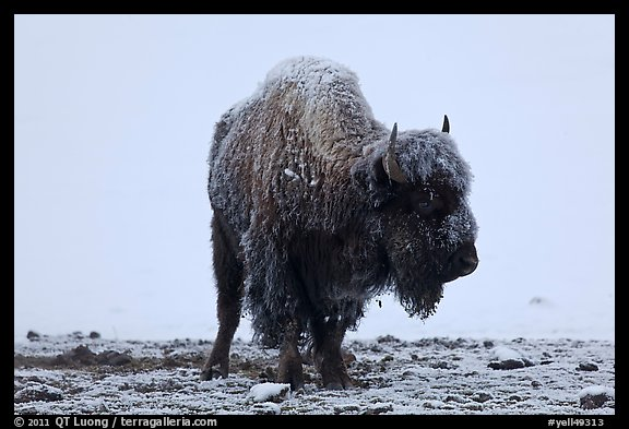 Snow-covered buffalo standing on warmer ground. Yellowstone National Park, Wyoming, USA.