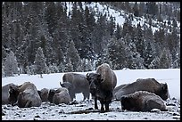 Bison herd on a warmer patch in winter. Yellowstone National Park, Wyoming, USA.