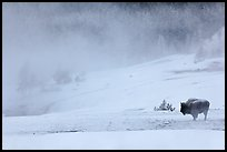 Lone bison and thermal steam. Yellowstone National Park, Wyoming, USA.