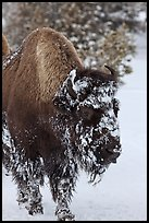 American bison with snow sticking on face. Yellowstone National Park, Wyoming, USA.