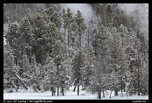 Wintry forest and steam. Yellowstone National Park, Wyoming, USA.