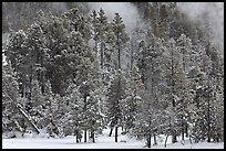 Wintry forest and steam. Yellowstone National Park, Wyoming, USA. (color)