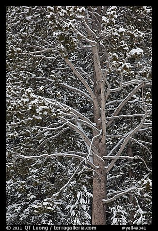 Close up of tree with snow. Yellowstone National Park (color)