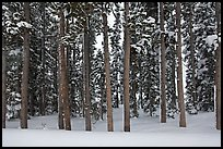 Pine forest in winter. Yellowstone National Park, Wyoming, USA.