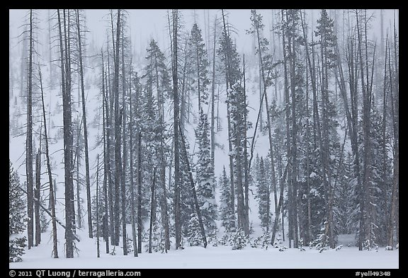 Forest in snow storm. Yellowstone National Park (color)