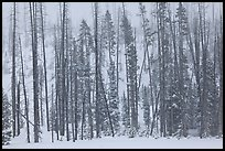 Forest in snow storm. Yellowstone National Park, Wyoming, USA.