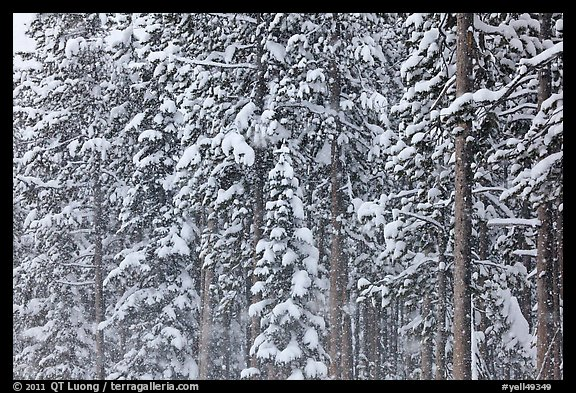 Forest with snow falling. Yellowstone National Park (color)