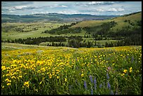 Summer wildflowers and Lamar Valley. Yellowstone National Park ( color)