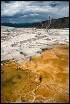 Travertine terraces and dead trees, Mammoth Hot Springs, afternoon. Yellowstone National Park ( color)