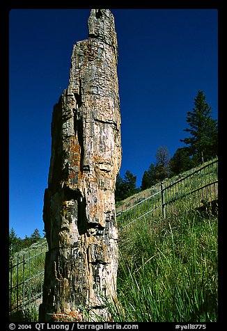 Petrified tree. Yellowstone National Park (color)