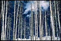 Bright trees in burned forest and clouds. Yellowstone National Park ( color)