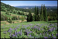 Lupines at Dunraven Pass, Grand Canyon of the Yellowstone in the background. Yellowstone National Park, Wyoming, USA.