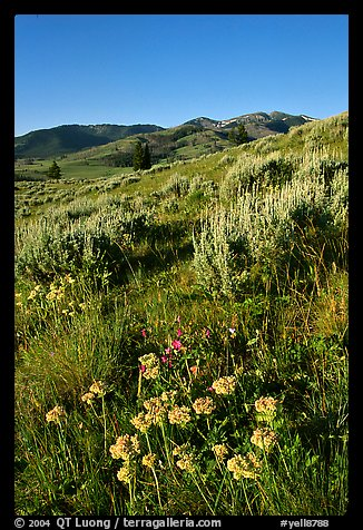 Flowers and Mt Washburn, sunrise. Yellowstone National Park (color)