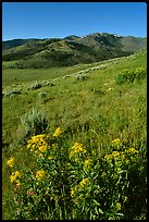 Yellow flowers on slope below Mt Washburn, early morning. Yellowstone National Park, Wyoming, USA.