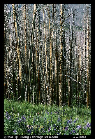 Lupine at the base of burned forest. Yellowstone National Park (color)