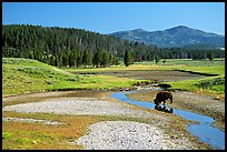 Buffalo in creek, Hayden Valley. Yellowstone National Park, Wyoming, USA. (color)