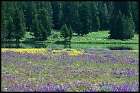 Purple flowers and pine trees. Yellowstone National Park, Wyoming, USA.