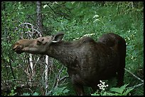 Cow moose reaching for plant. Yellowstone National Park ( color)