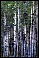 Dense Lodgepole pine forest, dusk. Yellowstone National Park, Wyoming, USA.