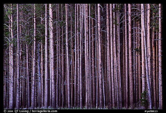 Densely clustered lodgepine tree trunks, dusk. Yellowstone National Park (color)
