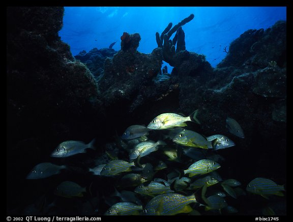 Smallmouth grunts under overhanging rock. Biscayne National Park (color)