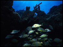 Smallmouth grunts under overhanging rock. Biscayne National Park, Florida, USA.