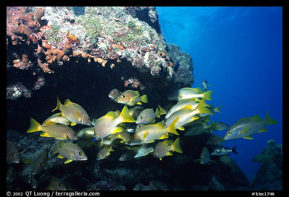 Yellow snappers under an overhang. Biscayne National Park, Florida, USA.