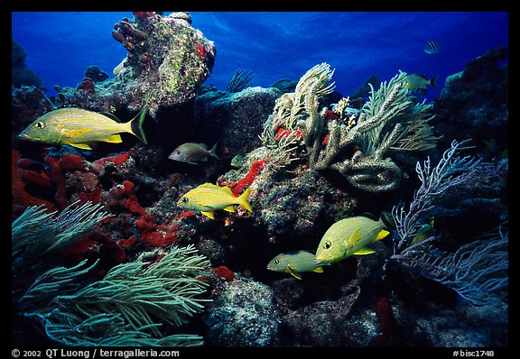 Yellow snappers and soft coral biscayne national park florida usa