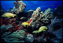 Yellow snappers and soft coral. Biscayne National Park, Florida, USA. (color)