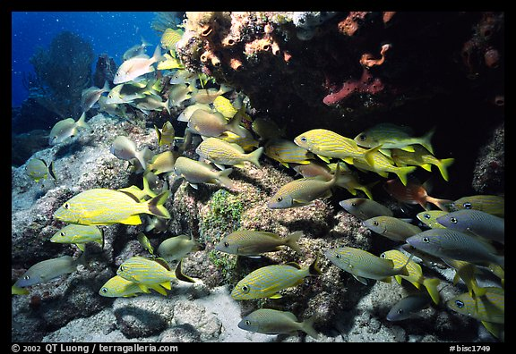 School of yellow snappers and rock. Biscayne National Park (color)