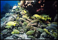 School of yellow snappers and rock. Biscayne National Park, Florida, USA.