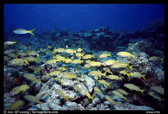 School of yellow snappers. Biscayne National Park (color)